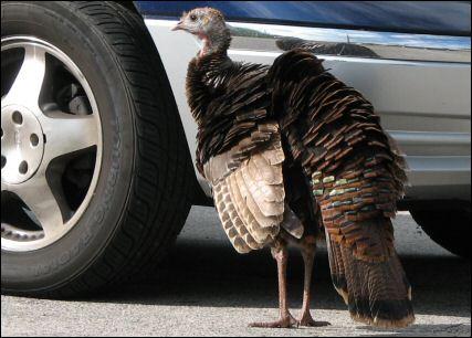 turkey2006-05-20.jpg
